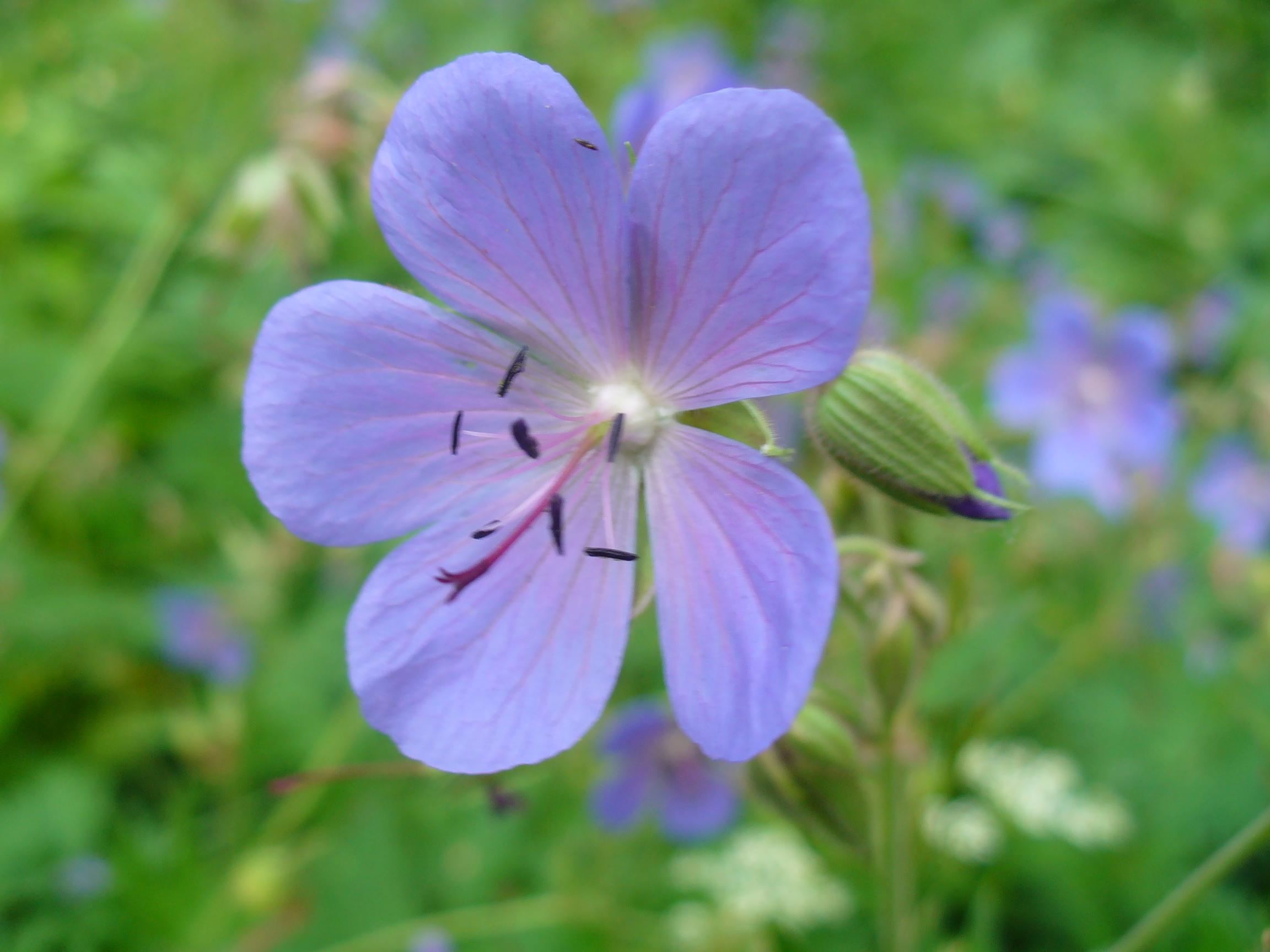 Цветы подмосковья фото названия